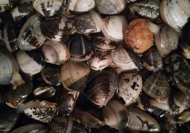 潮干狩りの季節 アサリには栄養素がいっぱい